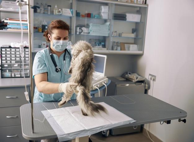 Ветеринар женщина в униформе с маской осматривает пушистую кошку в офисе клиники