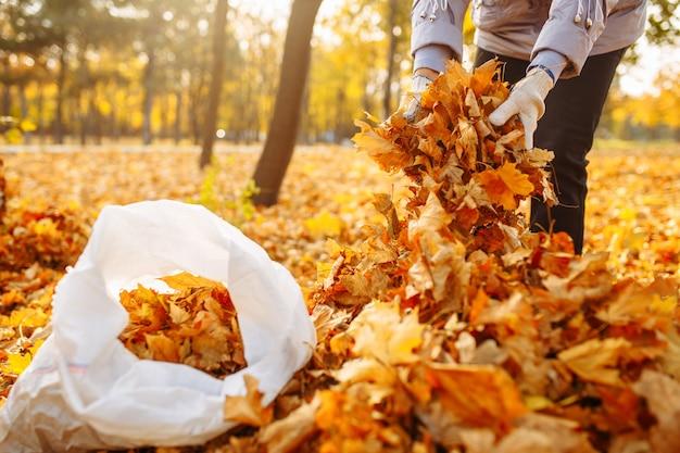 女性ボランティアが葉っぱを袋に集めます。秋の公園の葉を掃除します。葉の束をバッグに詰める手のクローズショット。