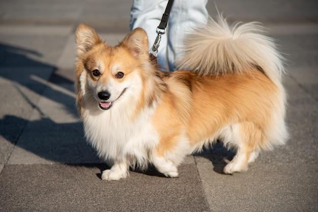 Женщина гуляет с собакой корги на улице