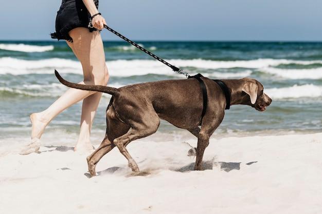 Donna che cammina il suo cane weimaraner in spiaggia
