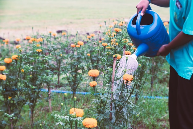 Woman watering marigold flowers in the garden