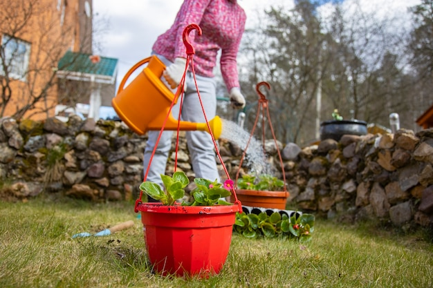 Woman watering potted flowers from a garden watering can in the backyard of a house in spring