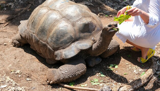 Woman in white dress girl feeding giant turtle aldabra zanzibar tanzania africa selective focus