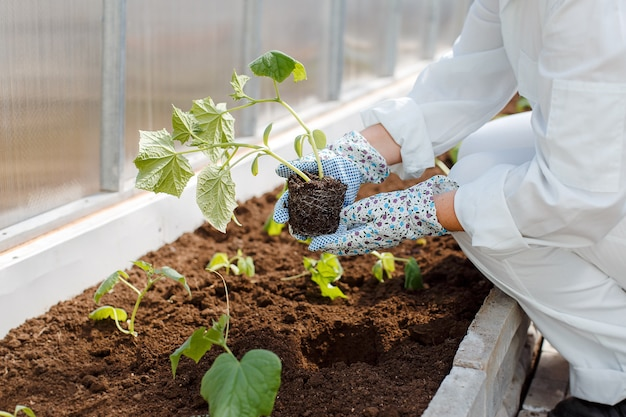 A woman in white overalls plants young cucumber seedlings in the ground