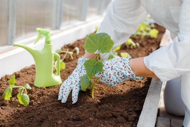 A woman in a white overalls plants young cucumber seedlings in the ground