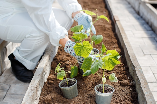 A woman in white overalls prepares to plant a young cucumber seedling