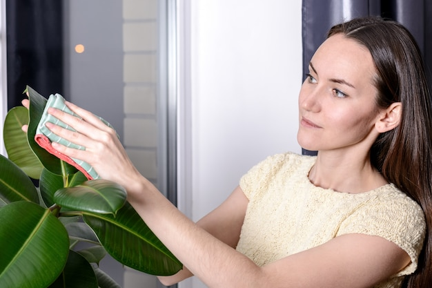 Woman wipes the dust from the green leaves of ficus microfiber.