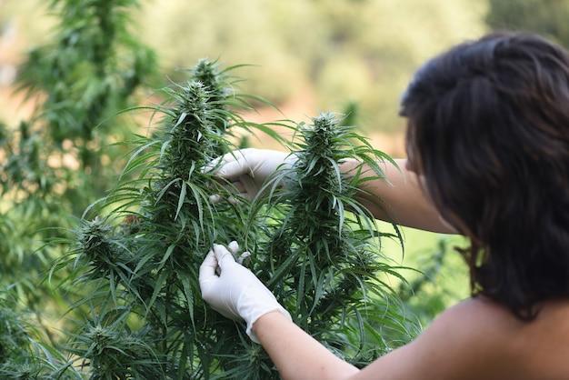 장갑을 낀 여성은 오일 추출을 위해 cbd 수확을 관리합니다.