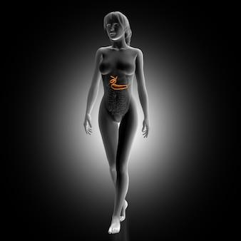 Woman with illuminated spleen