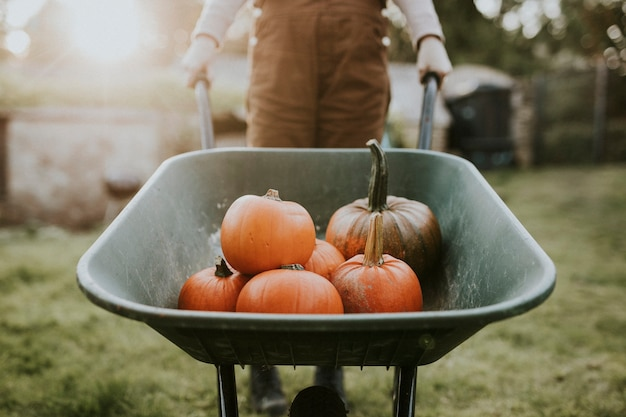 Woman with pumpkin wheelbarrow in a farm