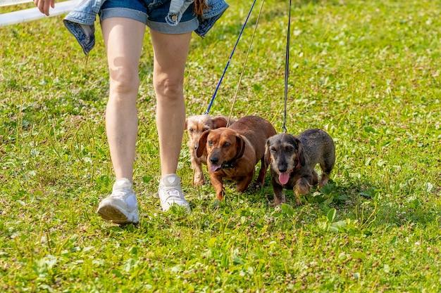 散歩の公園で3匹の犬を持つ女性。散歩でホステスと犬の品種のワイヤーヘアードダックスフント