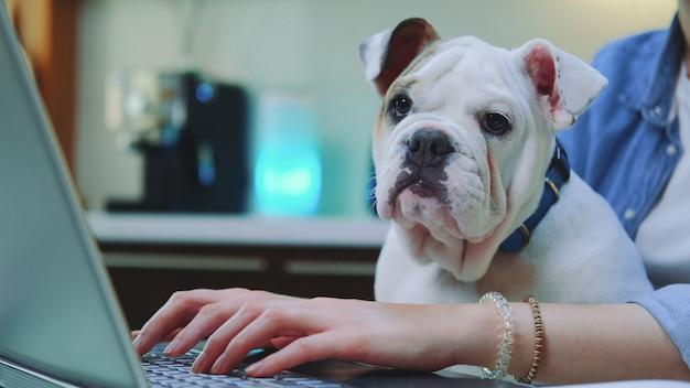 Женщина работает удаленно на компьютере с бульдог щенок на коленях