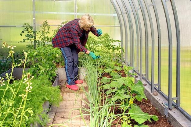 여자는 온실에서 일하며 심은 오이와 토마토를 검사합니다.