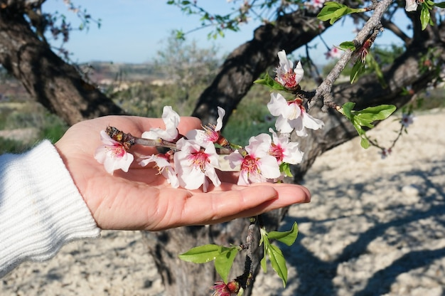 Womanã¢â€â™s hand holding almond flowers blossom spring time in spain