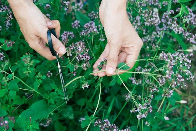 Womans hand cutting fresh oregano plant close-up, horizontal lifestyle outdoors summer floral and botanical stock photo image