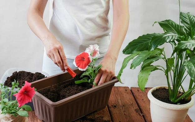 女性の手は家の部屋の木製のテーブルに立っているペチュニアの花を植えます