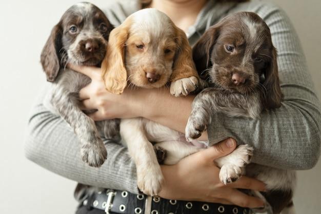 Женские руки держат трех симпатичных щенков русского спаниеля коричневого мерль. уход за домашними животными и дружелюбная концепция. любовь и дружба между человеком и животным.