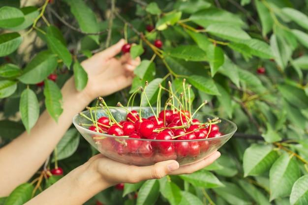 熟した新鮮な赤いサクランボのボウルを保持している梨花の手