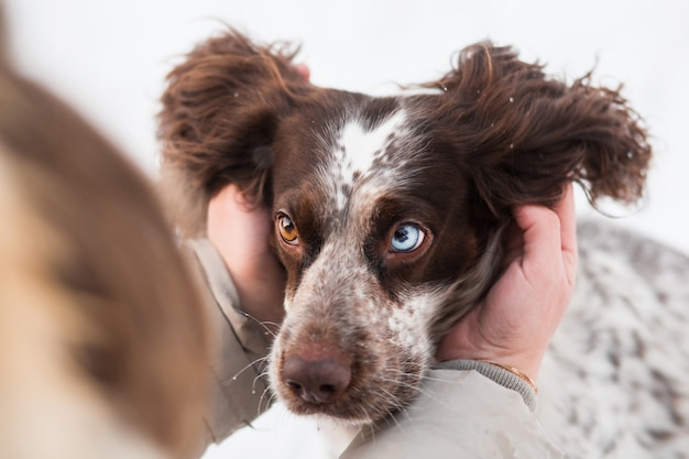 Womans hands holding chocolate spaniel face with different eyes in winter.