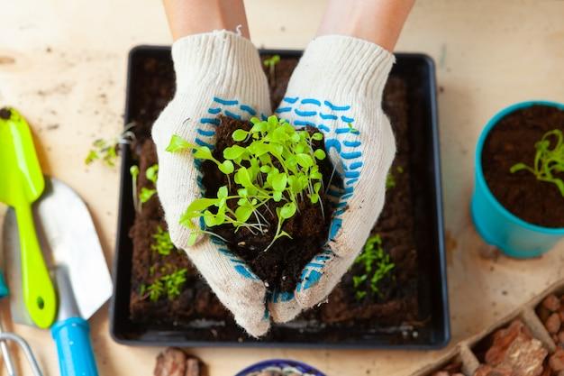 용기에 흙이나 흙이 있는 냄비에 콩나물을 심는 여자 손
