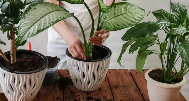新しいポットに植物を移植する女性の手spathiphyllumcrassula perfoliata dieffenbachiamaculata花卉園芸の概念