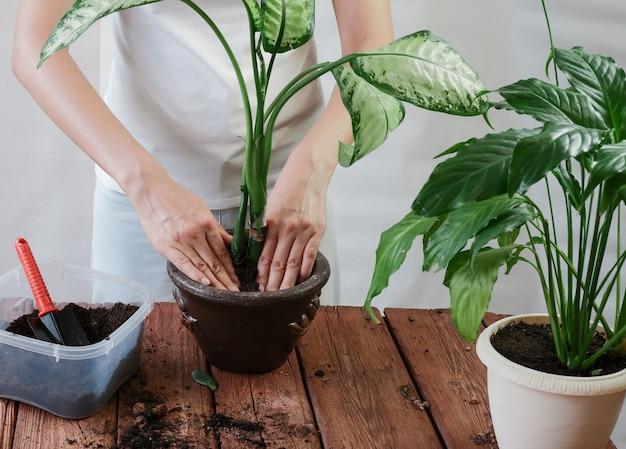 植物を新しいポットに移植する女性の手spathiphyllumdieffenbachia maculata