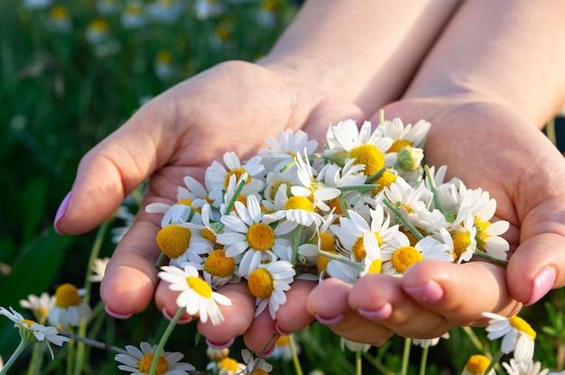 晴れた夏の日のクローズアップに新鮮な薬局のカモミールの花を持つ女性の手のひらカモミールの空き地に一握りのカモミール