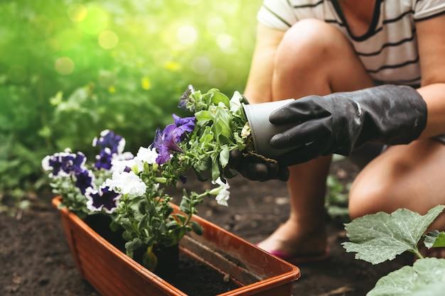 鍋にペチュニアの花を植える女性の手。園芸とガーデニングのコンセプトです。