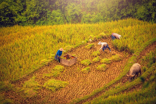 Women farmers are harvesting rice in a field at sunset in mu cang chai, northwestern vietnam.
