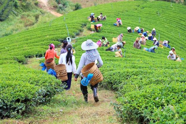 Women from thailand breaks tea leaves on tea plantation at chui fong , chiang rai, thailan