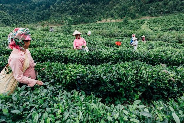 베트남의 여성들이 차 농장에서 찻잎을 끊습니다.