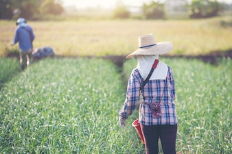 Women gardeners are fertilizing the onion garden