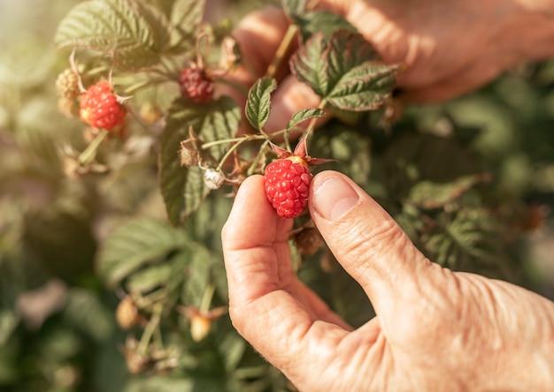 Женщины рука собирают плоды красной малины с садового куста, спелые свежие ягоды на ветке крупным планом