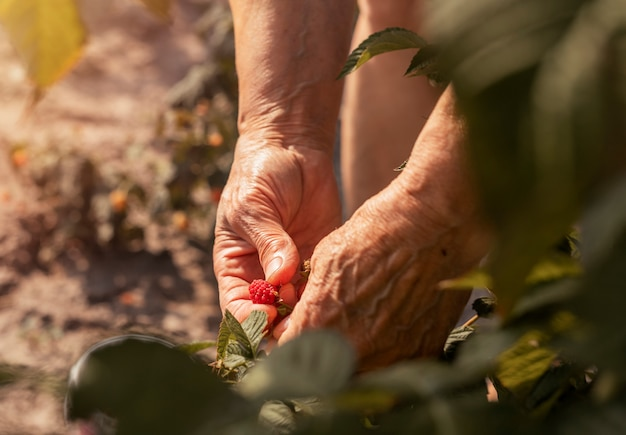 Women hand picking red raspberry fruis from bush in sunny summer ripe fresh berry on branch