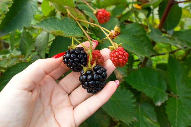 熟したブラックベリーを拾う女性の手がクローズアップ。庭の新鮮なベリーのブラックベリーの枝。