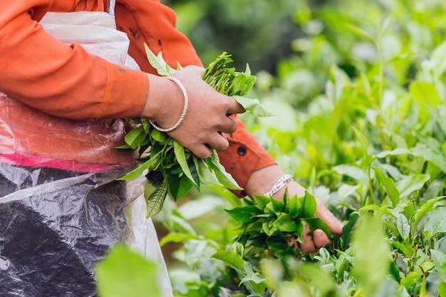 Женщины собирают чайные листья на сельскохозяйственных угодьях чайной плантации