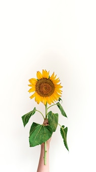 Women's hand holds yellow sunflower against white background. summer or autumn concept.