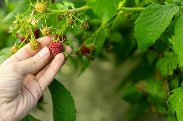 Женские руки собирают малину в саду. концепция садоводства и сбора урожая