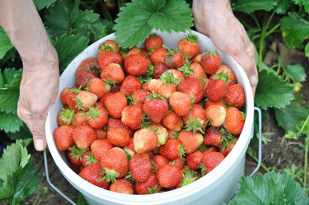 Women's hands harvest strawberries in the rainy season