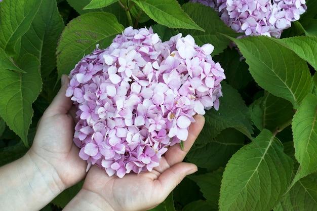 여성의 손은 수국 꽃을 들고 있습니다. 정원 작업, 식물 관리의 개념입니다.