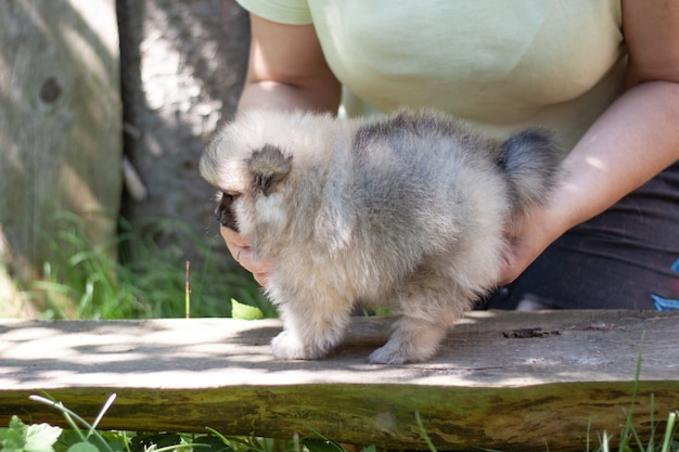 Women's hands hold a small fluffy dog a two-month-old pomeranian puppy.
