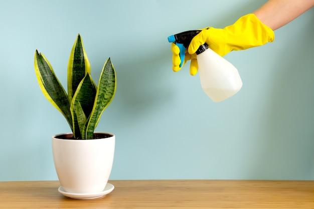 Женские руки в садовых перчатках опрыскивают растения. трендовая цветочная змея sansevieria trifasciata на синем фоне