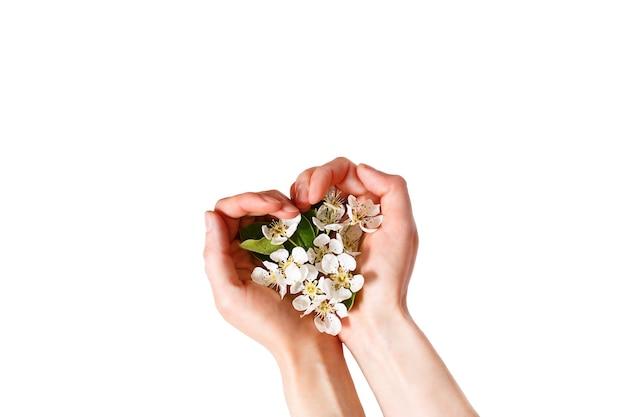 ハート型の手のひらと白い背景に白いリンゴの花を持つ女性の手は、分離します。春の時間、愛、優しさ。スキンケア、自然化粧品。