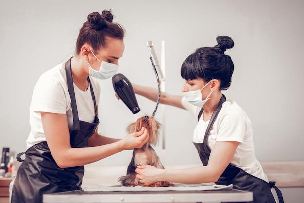 ドライヤーを使用している女性。洗って剃った後、かわいい犬を乾燥させながらドライヤーを使用している女性