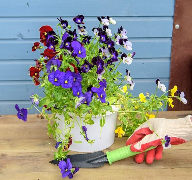 원예용 장갑을 낀 여성의 손은 다채로운 팬지 봄 컨셉을 심을 것입니다