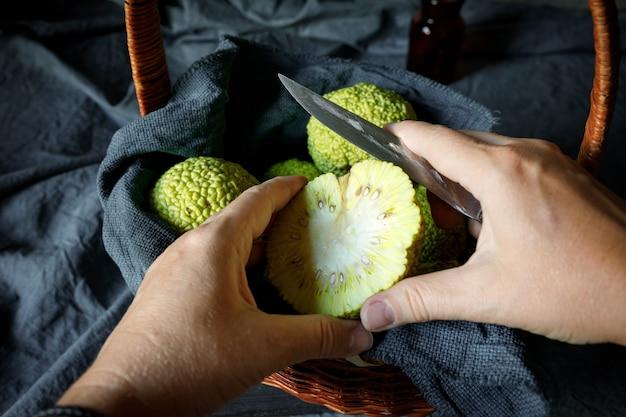 Osage orange maclura pomifera의 과일을 자르는 여성의 손 대체 의학에서 maclure의 사용