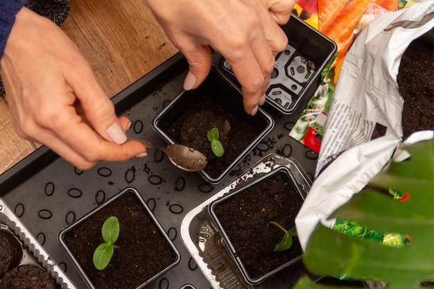 女性の手は、泥炭タブレットのキュウリの苗を土の入ったプラスチック製の鉢に移植します