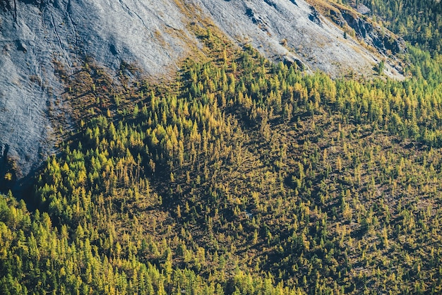 日差しの中でロッキー山脈の麓にあるオレンジ色の秋の森のある素晴らしい高山の風景。黄金色の灰色の岩とピエモンテの森のあるモトリー山の風景。山の秋。