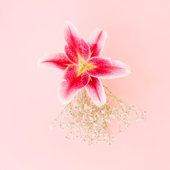 Wonderful lily flower on pink