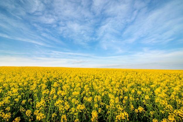 上から菜の花畑と美しい空の素晴らしいパノラマビュー